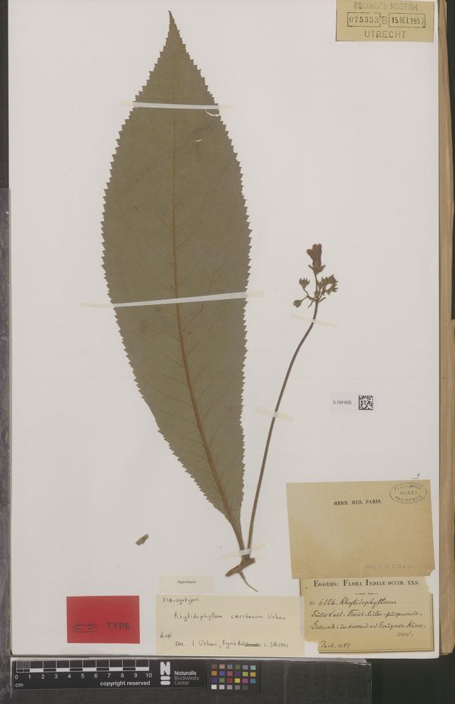 Isosyntype of Rhytidophyllum caribaeum Urb. [family GESNERIACEAE]