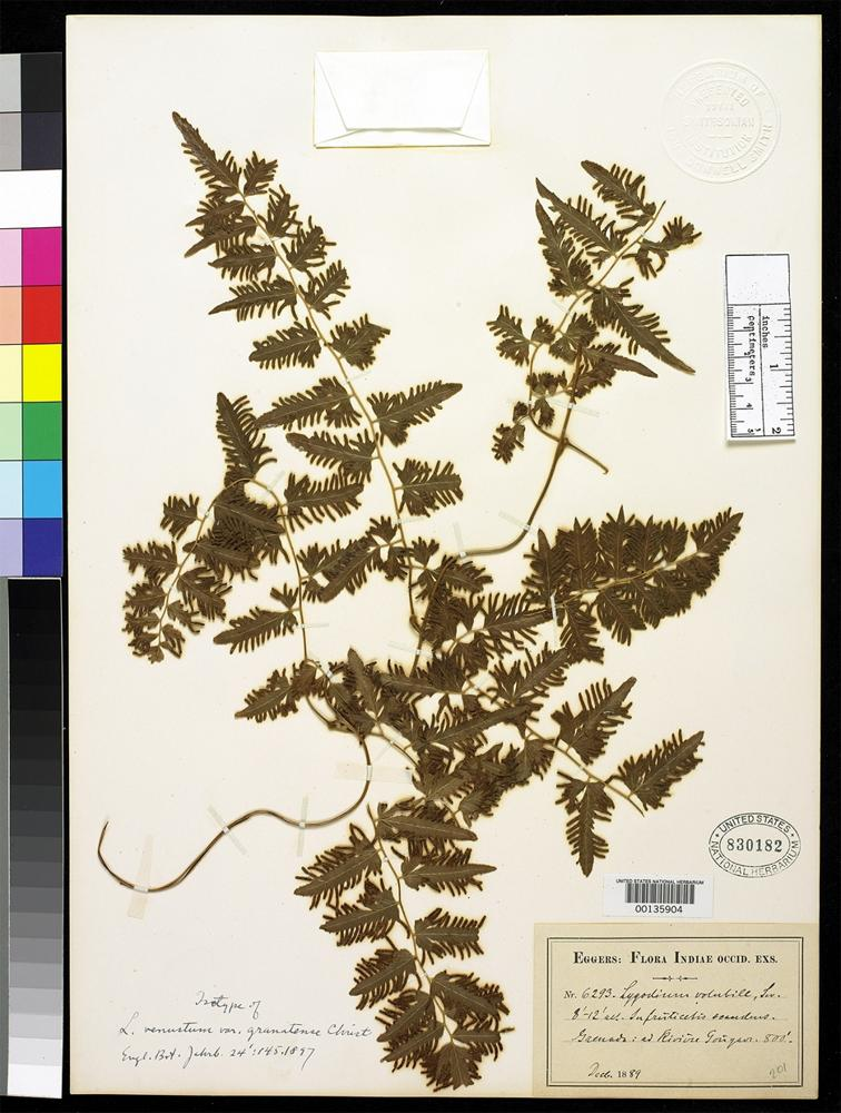 Filed as Lygodium venustum var. granatense Christ, K.H.H. 1897 [family SCHIZAEACEAE]
