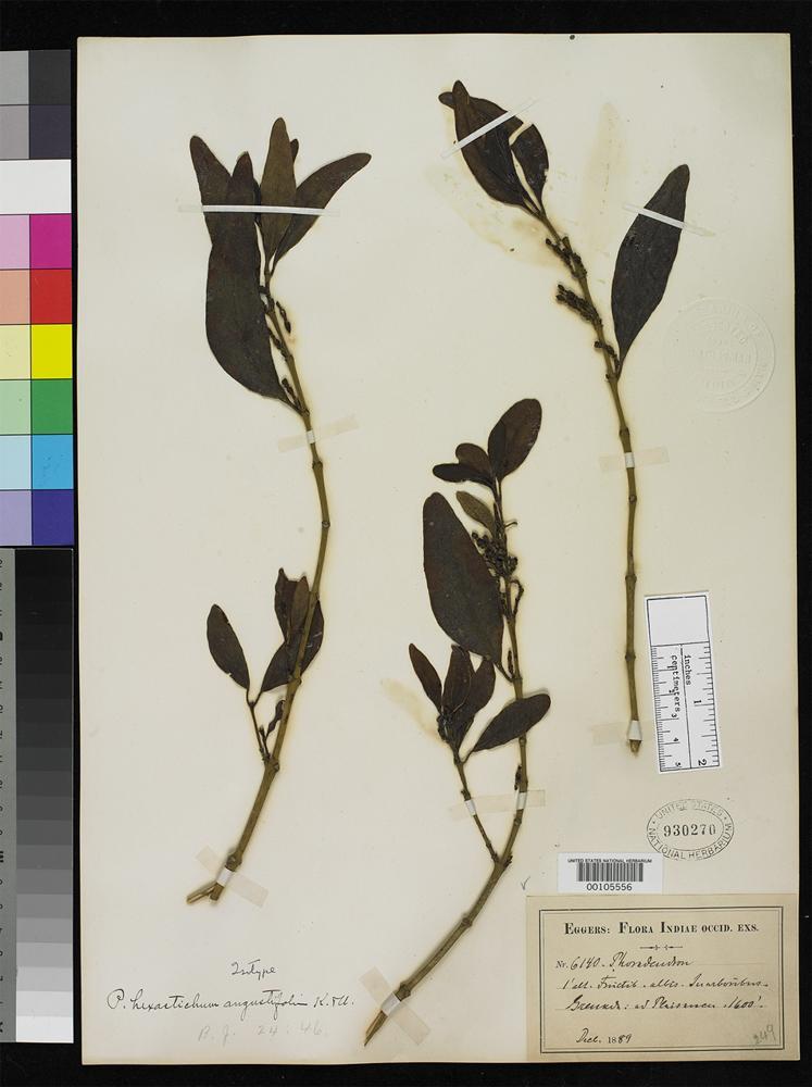 Isotype of Phoradendron hexastichum var. angustifolium Krug, C.W.L. & Urban, I. 1897 [family LORANTHACEAE]