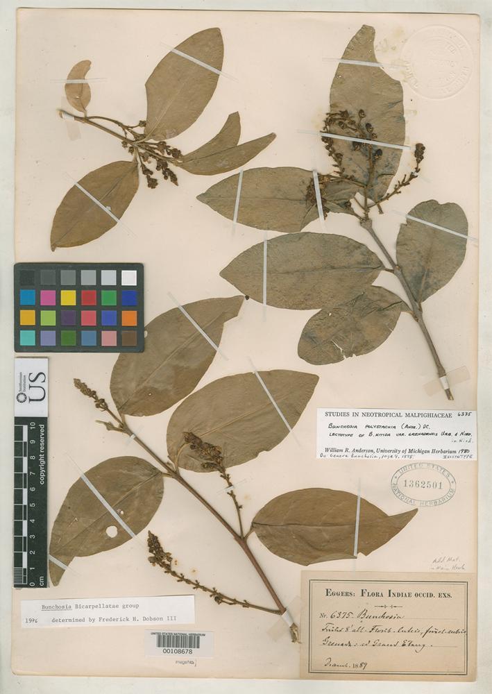 Isosyntype of Bunchosia nitida var. grenadensis Urban, I. & Niedenzu, F.J. 1898 [family MALPIGHIACEAE]
