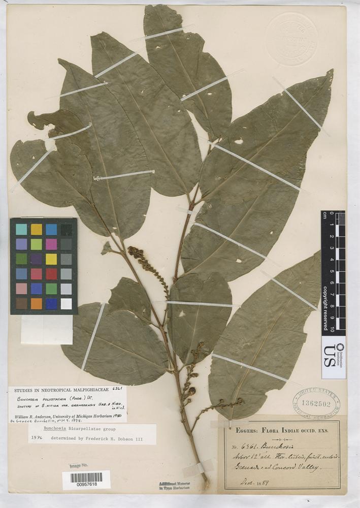 Isosyntype of Bunchosia nitida var. grenadensis Niedenzu, F. J. 1898 [family MALPIGHIACEAE]