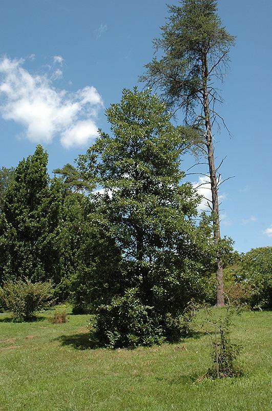 Southern Sweetbay Magnolia Magnolia Virginiana Var Australis In Richmond Fairfax Loudoun