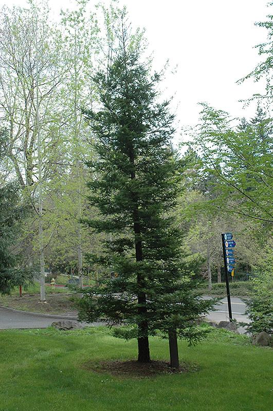 Coast Redwood Sequoia Sempervirens In Greensboro High Point Winston Salem Summerfield North