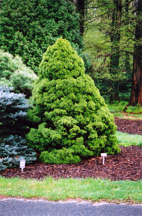 Dwarf Alberta Spruce Picea Glauca Conica In Columbus Dublin Delaware Grove City Gahanna