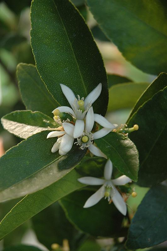 Bearss Seedless Lime Citrus Aurantifolia Bearss Seedless In Columbus Dublin Delaware Grove