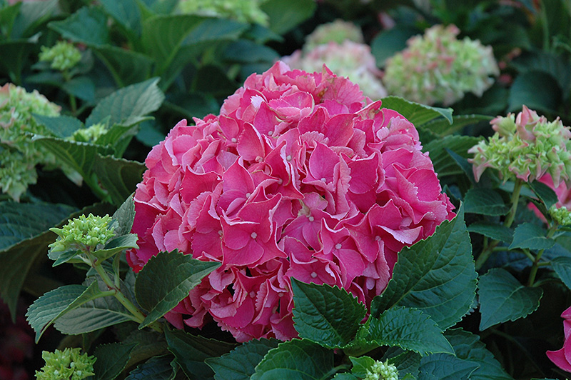 Forever And Ever Red Hydrangea Hydrangea Macrophylla