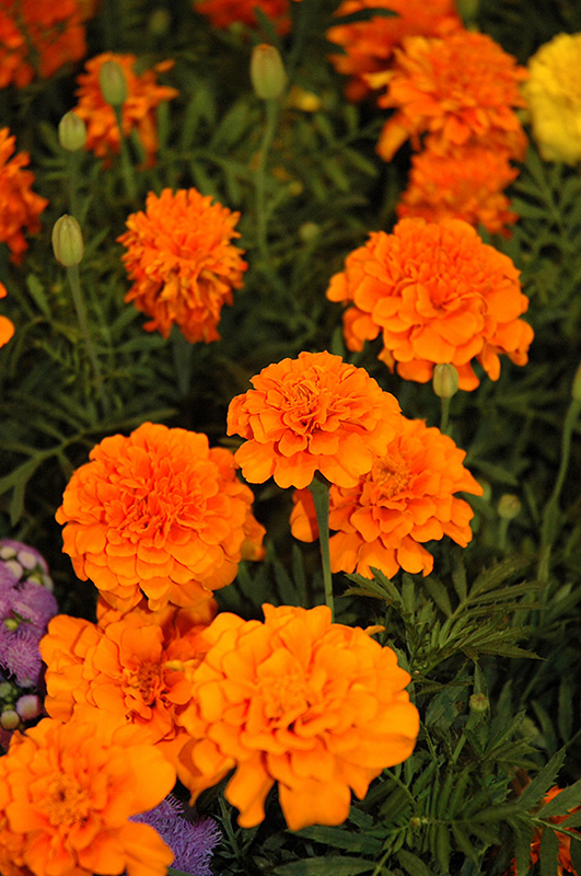 Little Hero Orange Marigold Tagetes Patula Little Hero Orange In Denver Centennial Littleton