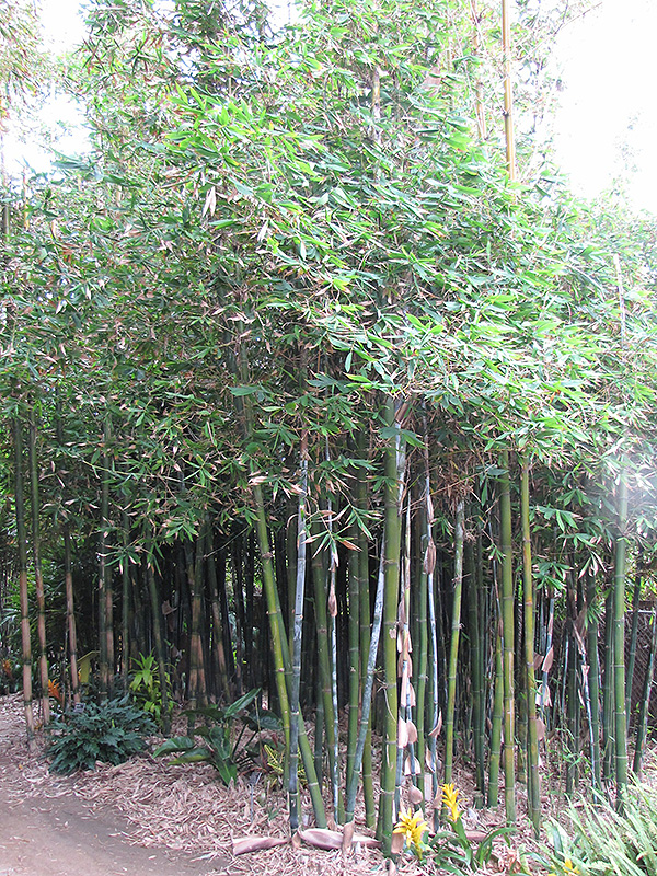 Giant Timber Bamboo Bambusa Oldhamii In Denver Centennial Littleton Aurora Parker Colorado CO