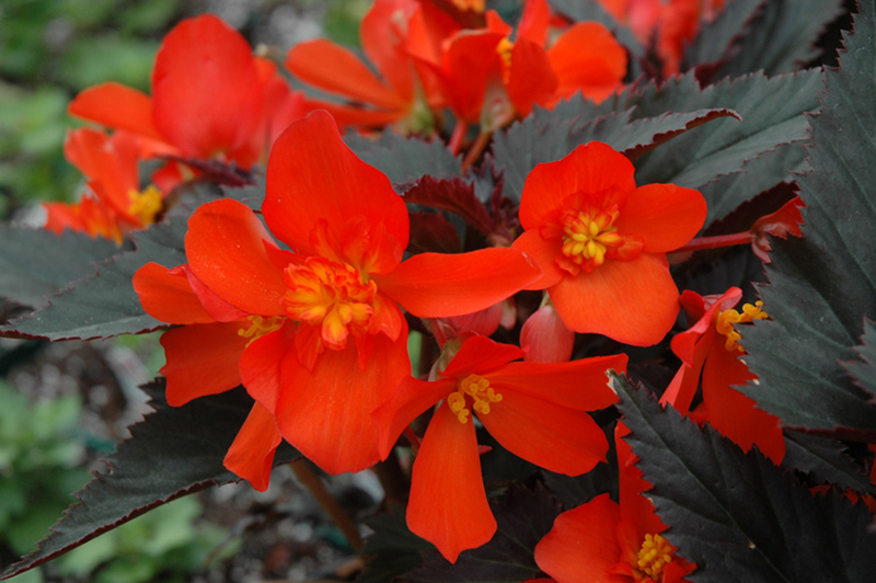 Unstoppable Upright Fire Begonia Begonia Unstoppable Upright Fire In Denver Centennial