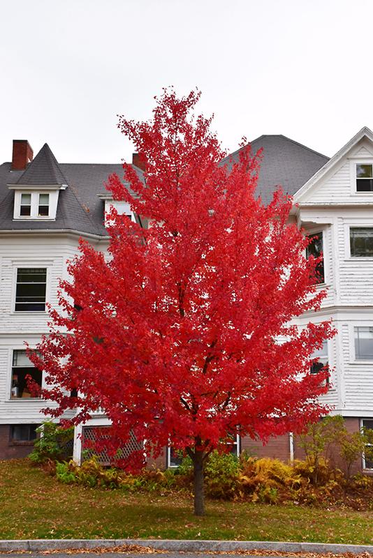 Sun Valley Red Maple (Acer rubrum 'Sun Valley') in Boston ...