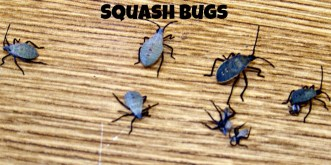Squash bug-NH-pic monkey