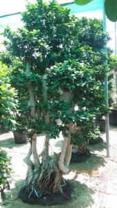 Ficus-bonsai-plantscapes