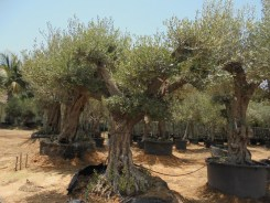 olea bonsai 300mm 2.5-3mtr qty