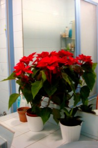 poinsettias on counter