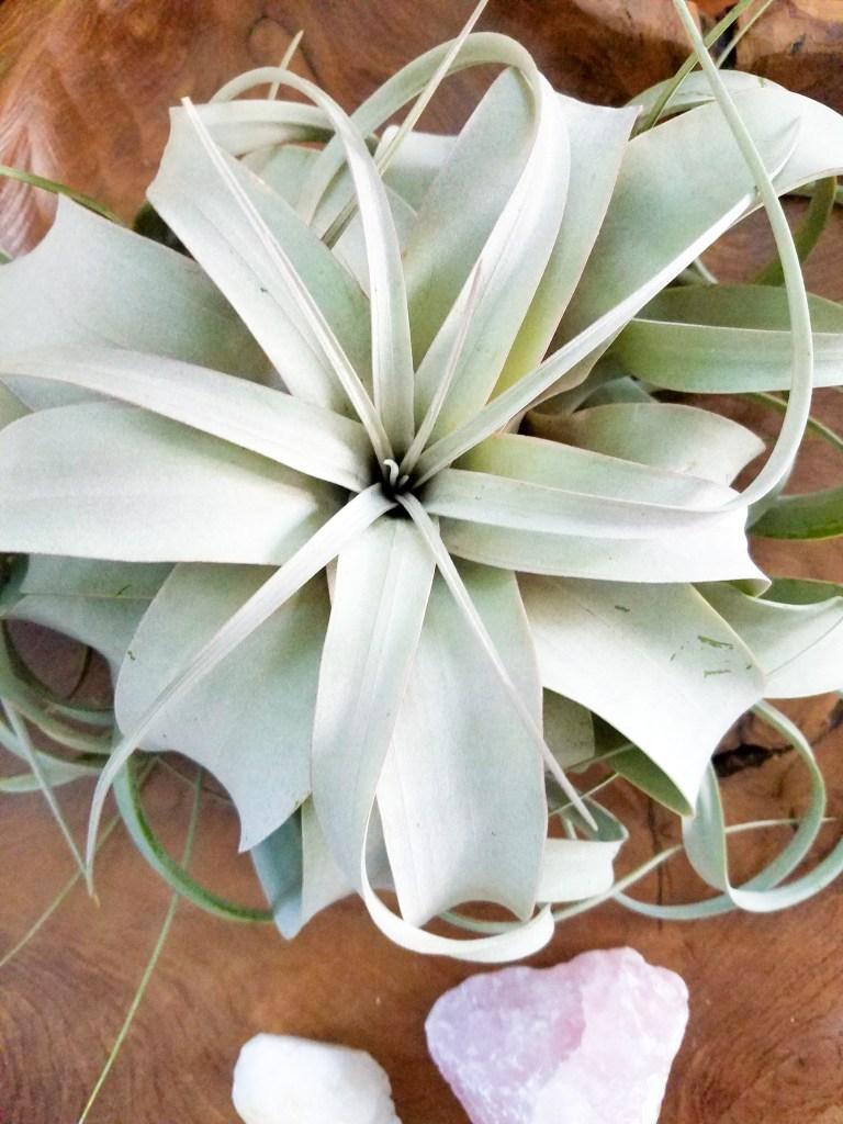 Air Plant Care Guide - Plants Don\'t Wine