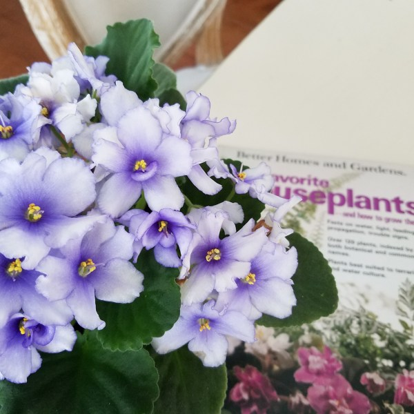 African Violets Care Guide
