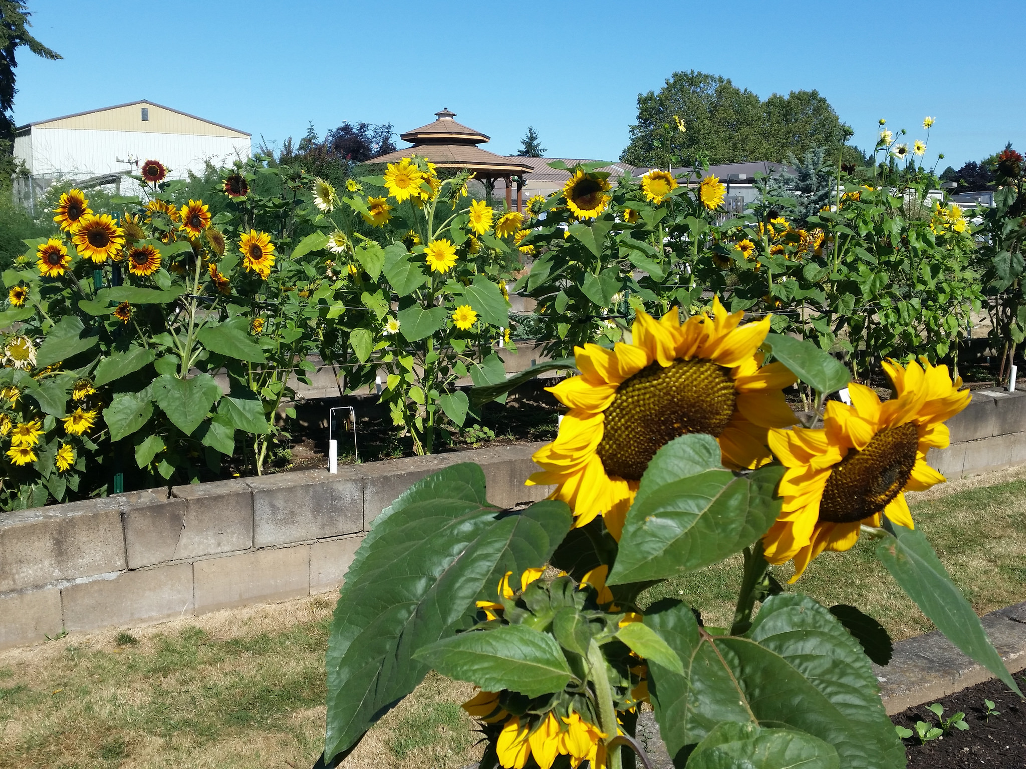Sunflowers burst onto scene with new personalities