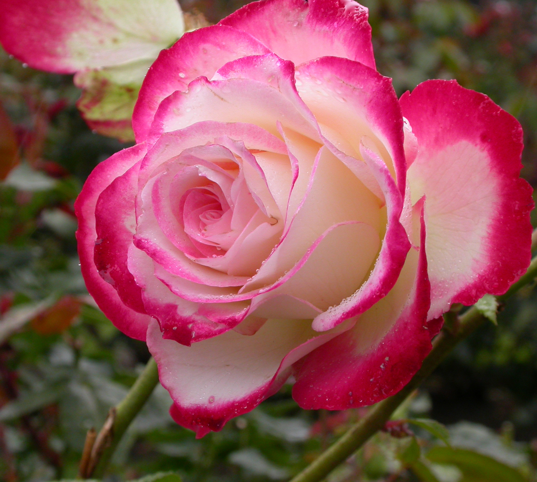 Disease-resistant roses make gardening life easier