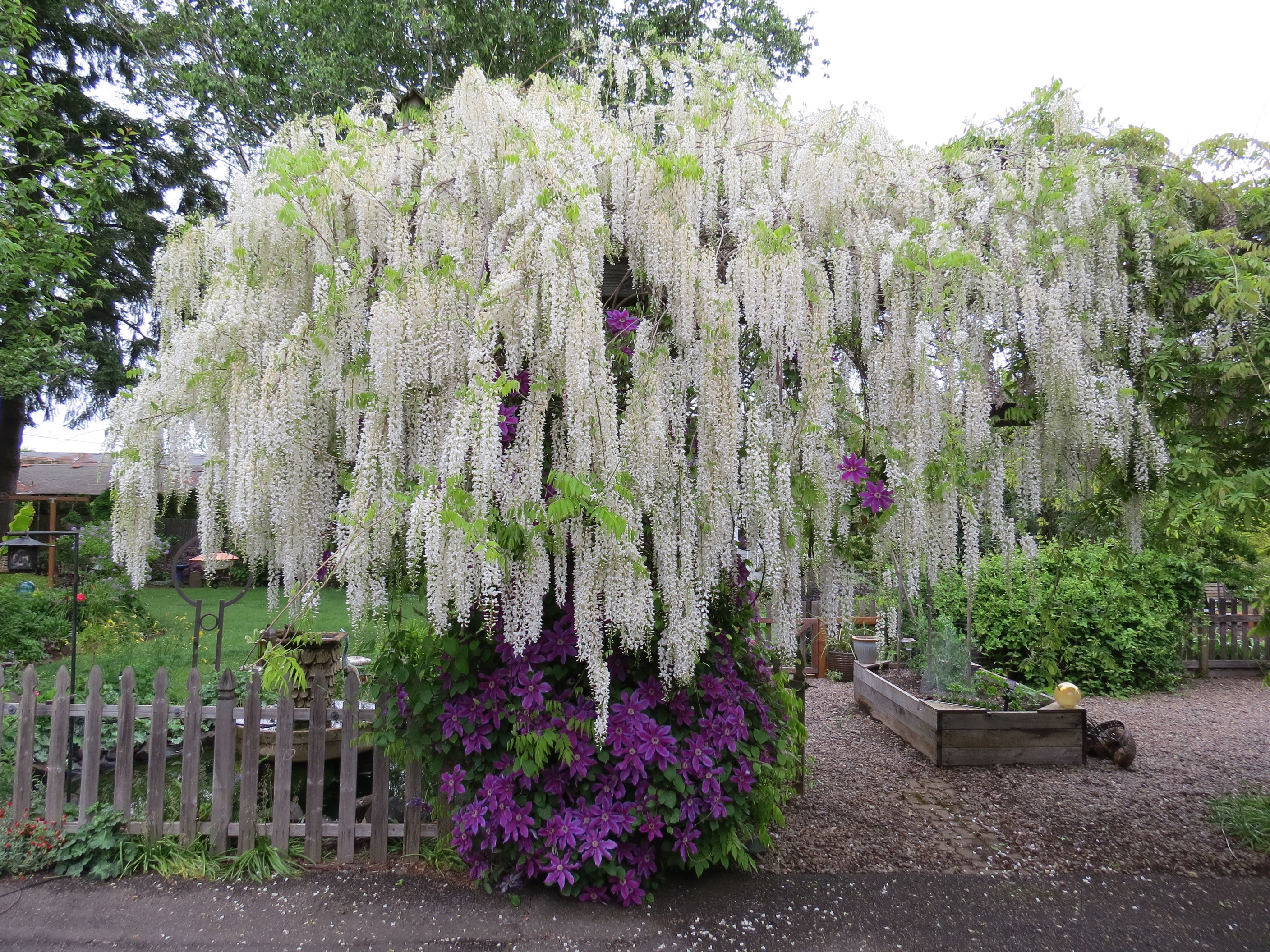 Wisteria care: Get out your clippers twice a year and go to town