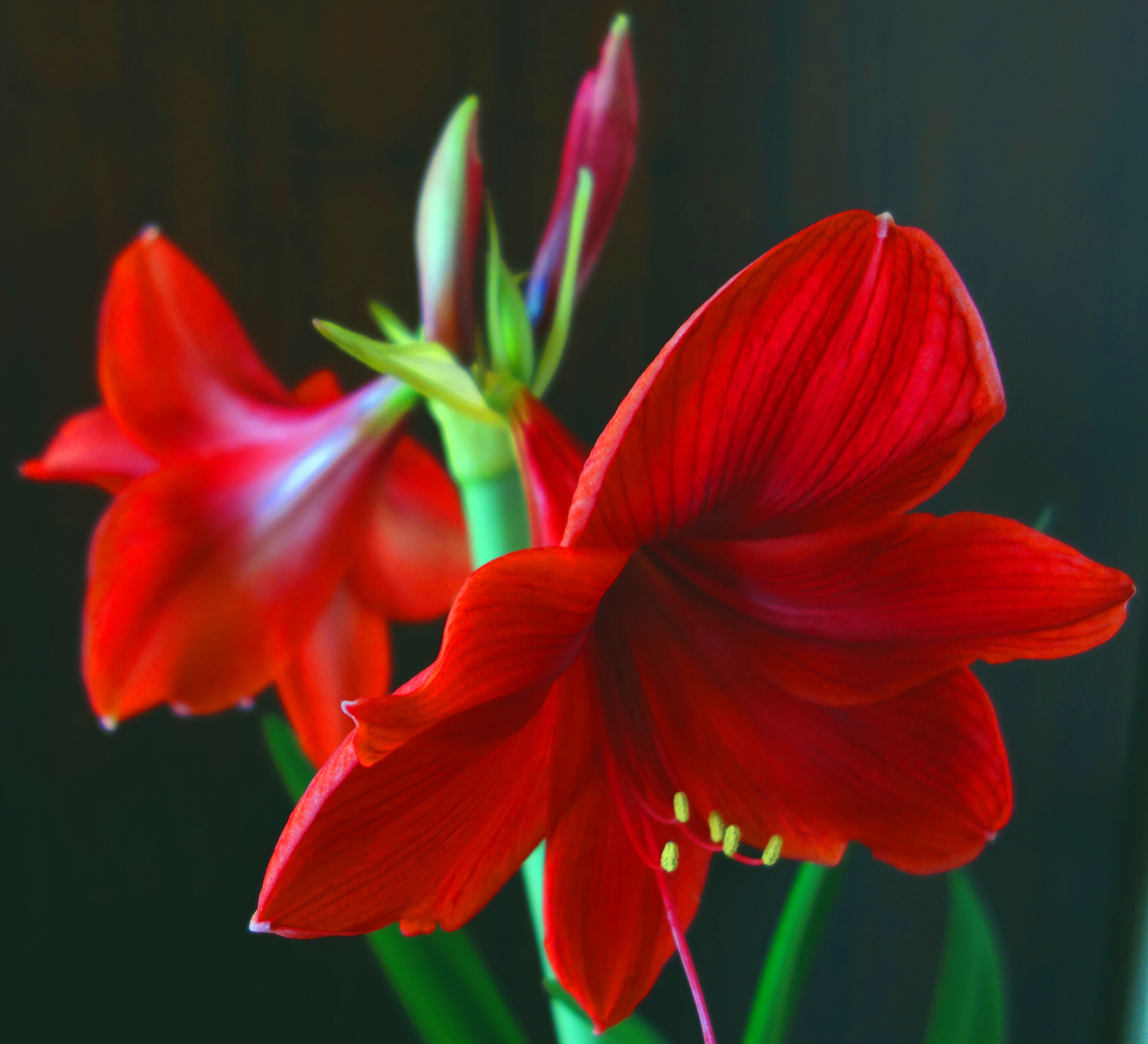 Give amaryllis a little push for luscious indoor bloom