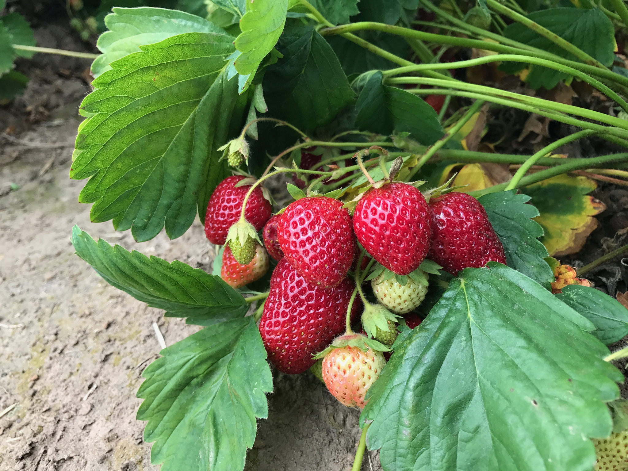 Grow your own strawberries for sweet satisfaction