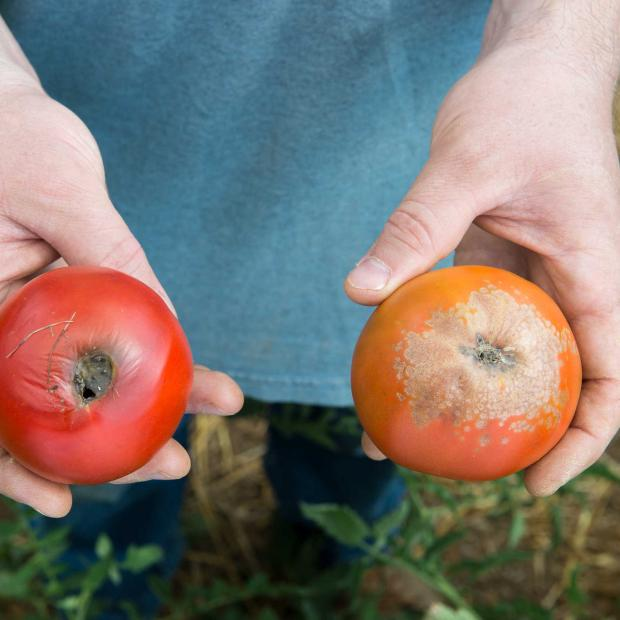 Planning now brings a good tomato season next year
