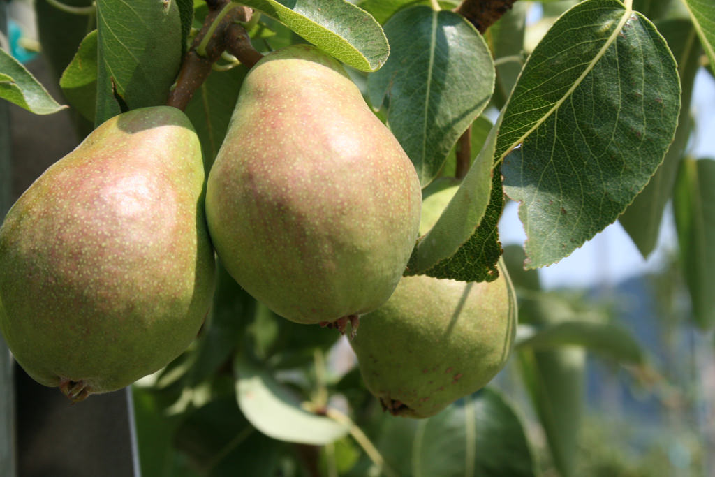 Know when it's time to pick pears and apples