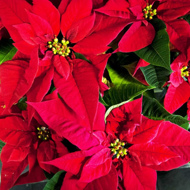 Start now to get beautiful poinsettias at the holidays