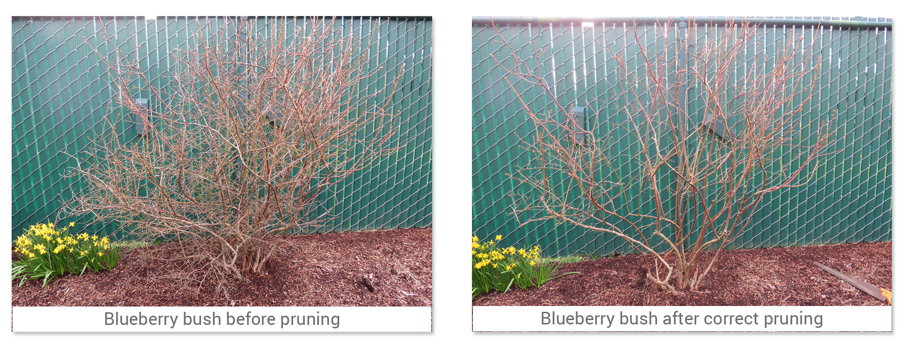 Pick up the pruners and head for the blueberries
