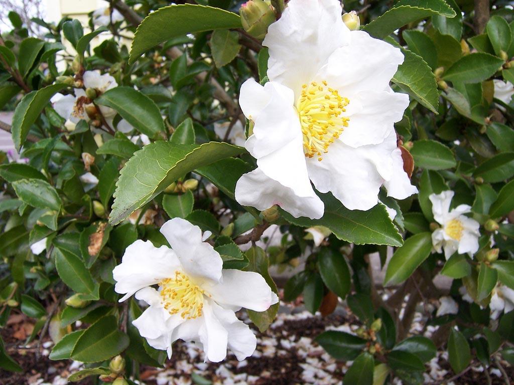 Six stellar shrubs to brighten the winter garden