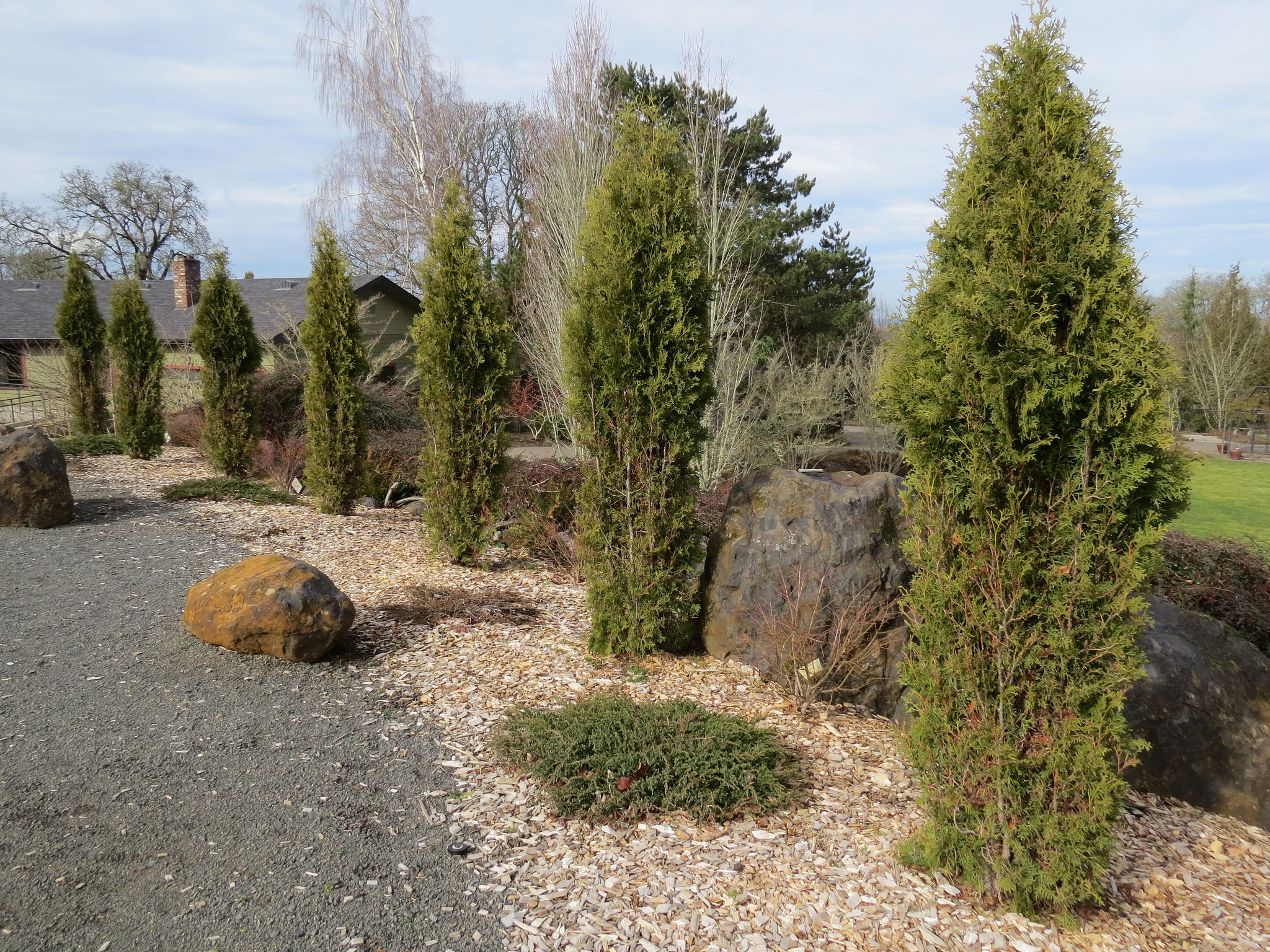 Arborvitae stands tall as a low-maintenance hedge