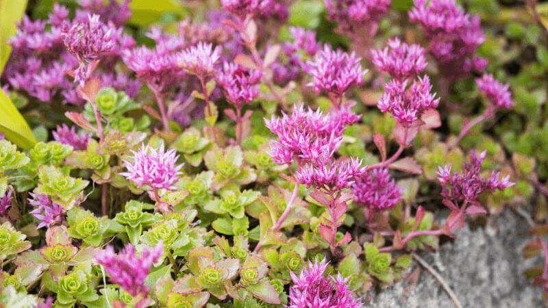 Stonecrop Plants Attract Butterflies