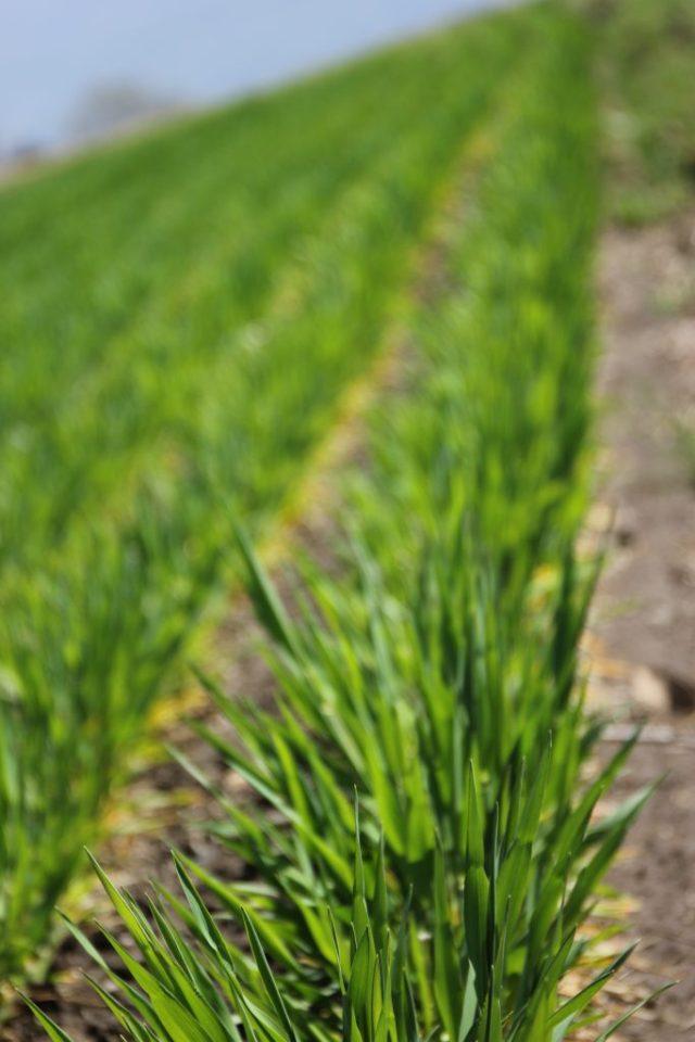大麦がグングン成長