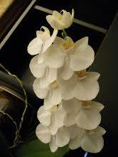 paulettes orchid.jpg