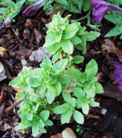 renewed petunia