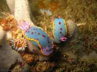 babosa-de-mar-hypselodoris-bennetti
