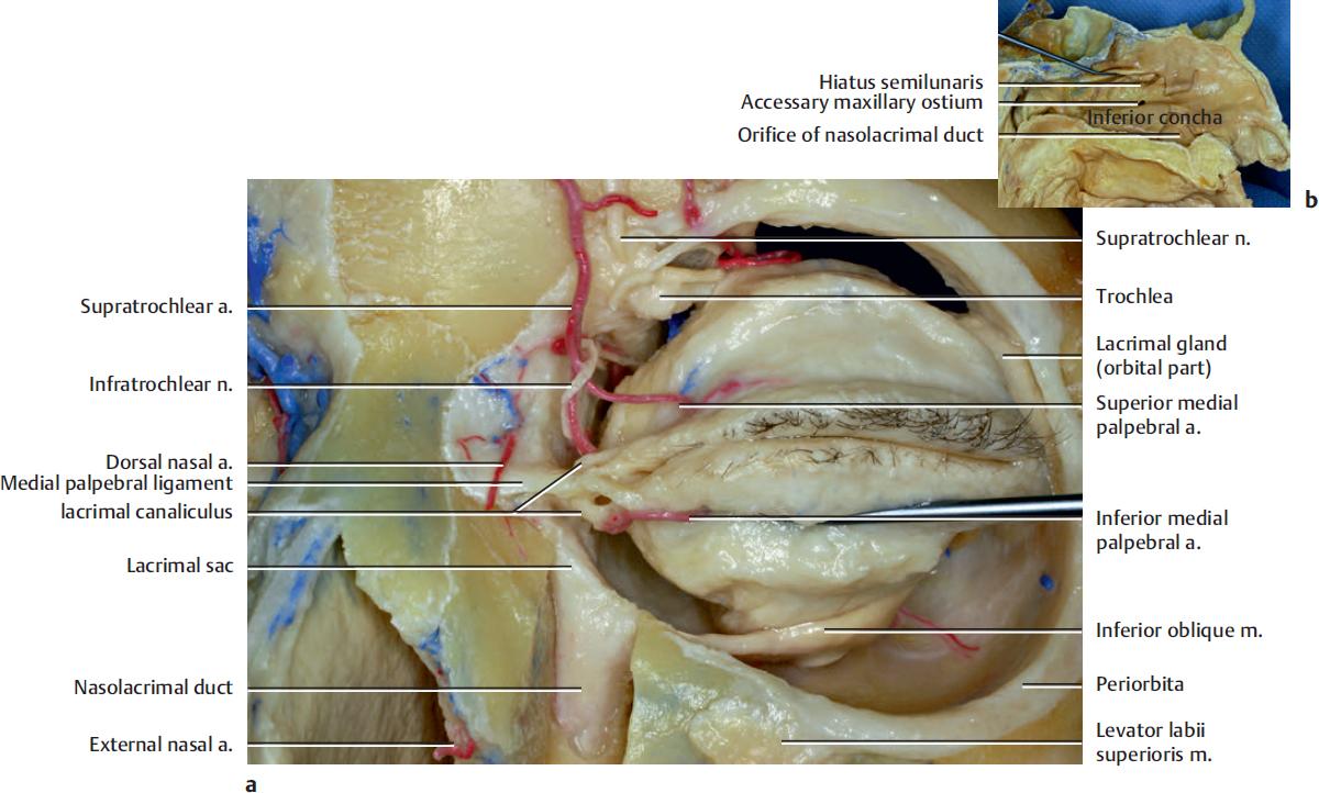 Forehead and Orbital Region | Plastic Surgery Key