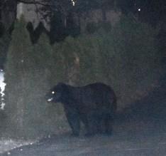 bear (54)