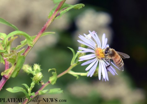bees.flowers (5)