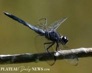 Dragonflies (1)