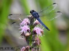 Dragonflies (24)