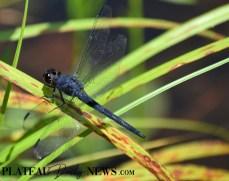 Dragonflies (35)