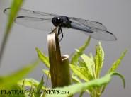Dragonflies (41)