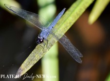Dragonflies (7)