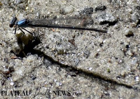 Dragonflies (9)