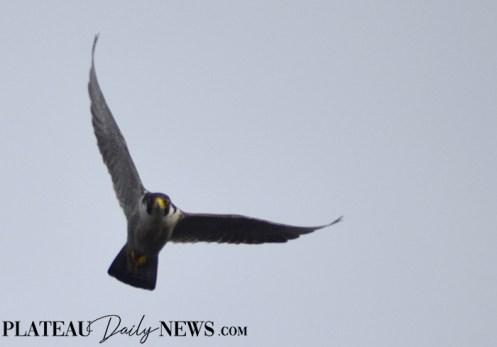 Falcon (3)