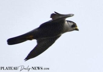Falcon (5)