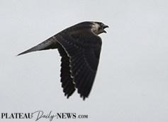 Falcon (6)