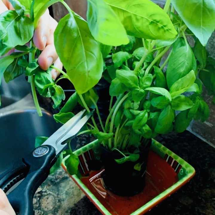 Clipping basil with kitchen shears