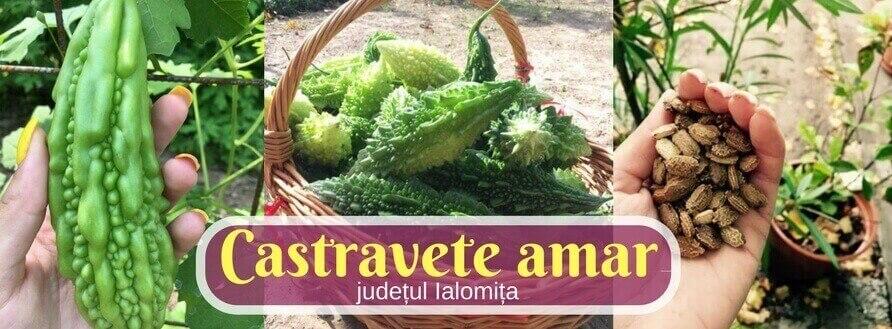 Castravete amar crecut in Romania, judetul Ialomita